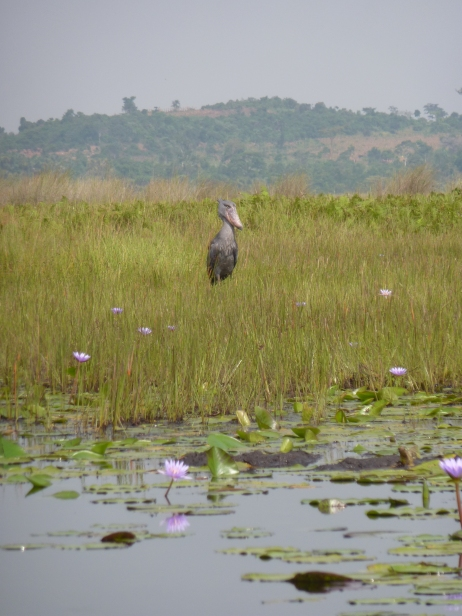 The Shoebill (Balaeniceps rex) Mabamba is home to just 9 individuals out of 250 in Uganda
