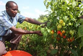 Photo: http://www.monitor.co.ug/Magazines/Farming/Wakiso-farmer-earns-Shs5-4m-a-month-from-pepper/-/689860/2097392/-/e5kl9wz/-/index.html