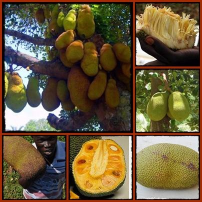 Photo: http://kabiza.com/kabiza-wilderness-safaris/blog/jackfruit-uganda/